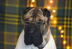 Mądrze i śmieszny brąz Shar Pei siedzi w szkłach i w pulowerze obrazy royalty free