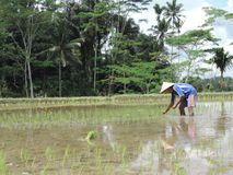 Mężczyzna pracuje w ricefields w Indonezja zdjęcie royalty free