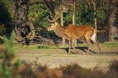 Męski czerwony rogacz, cervus elaphus podczas rutting sezonu, zdjęcia royalty free