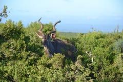 Męski kudu w krzaku obraz royalty free