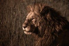 Męski lew odpoczywa w trawie fotografia royalty free