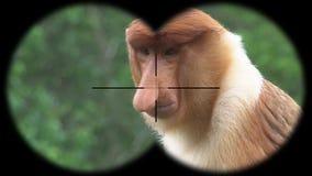 Męski Trąbiastej małpy Nasalis Larvatus Widzieć przez lornetek Dopatrywań zwierzęta przy przyroda safari zdjęcie wideo