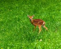 Męski whitetail rogaczy źrebię w trawie obrazy royalty free