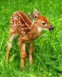 Męski whitetail rogaczy źrebię w trawie zdjęcie royalty free
