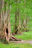 Mächtige alte Eichenbäume Stockfotos