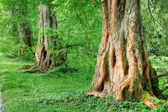 Mächtige alte Eichenbäume Lizenzfreies Stockfoto