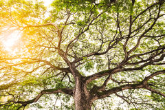 Mächtiger alter Baum mit Niederlassungen und hellem Sonnenlicht Stockbilder
