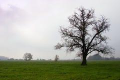 Mächtiger Baum auf Weiden am nebelhaften Morgen des Herbstes Stockfoto