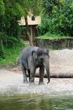 Mächtiger Elefant im Zoo Lizenzfreies Stockfoto