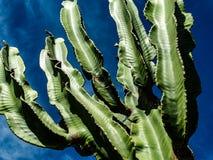 Mächtiger Kaktus stockfotos