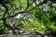 Mächtiger Live Oak stockbilder