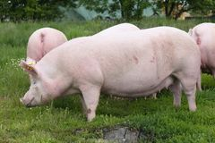 Mächtiges Sauschwein, das auf Wiese des grünen Grases aufwirft Stockbild