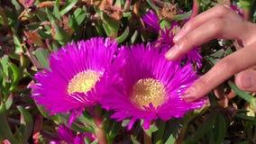 Mädchen berührt das Blumenblatt einer schönen rosa Blumennahaufnahme stock video
