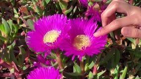 Mädchen berührt das Blumenblatt eines mittleren Schusses der schönen rosa Blume stock video footage
