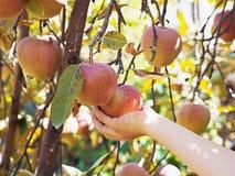 Mädchen, das Apfel hält Stockfotos