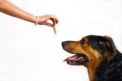 Mädchen, das dem Hund eine Festlichkeit speist Stockbild