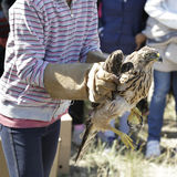 Mädchen, das einen jungen Hühnerhabicht (Accipiter, freigibt gentilis) Lizenzfreie Stockbilder