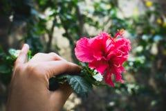 Mädchen, das helle rote Hibiscusblume in der Hand einer Frau hält stockfoto