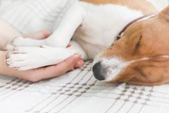 Mädchen, das Tatzen und Hundekopf hält Basenji Hund stockfoto