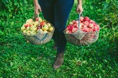 Mädchen, das zwei große Körbe von Äpfeln hält Stockbild