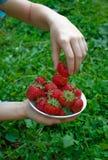 Mädchen füllt Platte mit reifer Erdbeere Lizenzfreie Stockfotografie