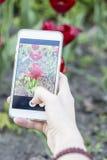Mädchen fotografiert auf einem roten Tulipa Tulpen des Handys Lizenzfreie Stockbilder