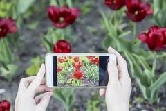 Mädchen fotografiert auf einem roten Tulipa Tulpen des Handys Stockfoto