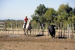 Mädchen Gardian, der eine Herde von Stieren bearbeitet Lizenzfreie Stockfotografie