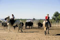 Mädchen Gardians, der eine Herde von Stieren bearbeitet Lizenzfreie Stockbilder