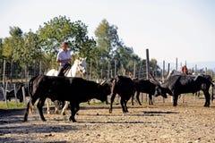 Mädchen Gardians, der eine Herde von Stieren bearbeitet Stockbild
