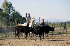Mädchen Gardians, der eine Herde von Stieren bearbeitet Stockfotos