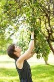 Mädchen im Kleid zupft die Äpfel Stockfotografie