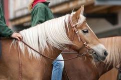 Mädchen reiten ohne Sattel zwei haflingers Lizenzfreies Stockfoto