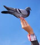Mädchen speist die Taube. Lizenzfreie Stockbilder