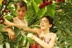 Mädchen und Junge brechen oben Kirschen Stockbilder