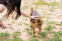 Mädchenanschläge der Kopf des braunen glatt-haarigen Hundes in einem Kragen lizenzfreie stockfotos