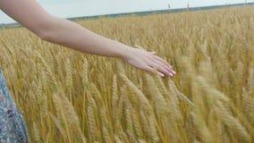 Mädchenhand auf Weizenfeld stock footage