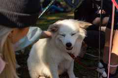Mädchenhaustier American Eskimo Dog im Park lizenzfreies stockfoto