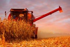 Mähdrescher-Betreiber, der Mais auf dem Feld am Sommer-Abend erntet Lizenzfreie Stockfotos