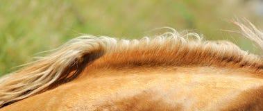 Mähne des Pferds Stockbilder
