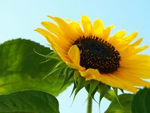 Mäktig solrosbild med den gömda humlan fotografering för bildbyråer