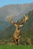 mäktiga horn på kronhjort Royaltyfri Foto