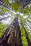 Mäktiga redwoodträdträd i den kaliforniska skogen Royaltyfri Bild
