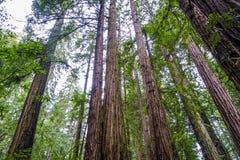 Mäktiga redwoodträdträd i den kaliforniska skogen Royaltyfria Foton