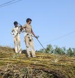 Män laddar sugröret på traktoren efter skörd Royaltyfri Fotografi