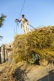 Män laddar sugröret på traktoren efter skörd Fotografering för Bildbyråer