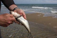 Män räcker gör ren förbereda fisken på sjösidabakgrund Arkivfoto
