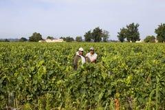 Män som arbetar i vinrankorna av Saint Emilion fält, på Augusti 8, 2012 i Saint Emilion, Frankrike arkivbild