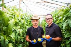 Män som kontrollerar och väljer tomaten för försäljningar i ett växthus f Royaltyfria Bilder