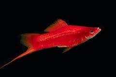Män Swordtail för röd färg i mörkret Arkivfoton